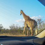 【DAY220・南アフリカ】ヨハネスブルグからクルーガー国立公園へ🐘楽しすぎるマイカーサファリ!!