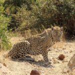 【DAY221・南アフリカ】クルーガー国立公園で早朝サファリ!至近距離であの動物と遭遇🐆