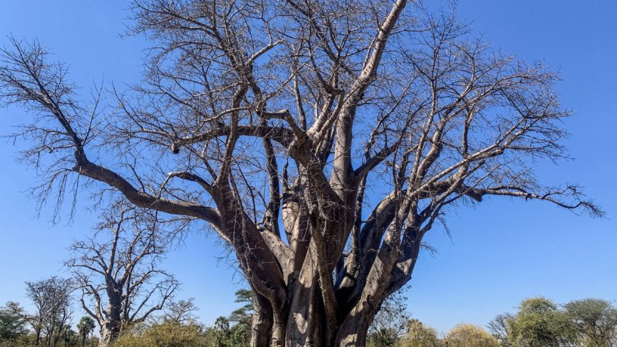 【DAY217・ジンバブエ】ヴィクトリアフォールズの街のバオバブの木までテクテク散歩🌲