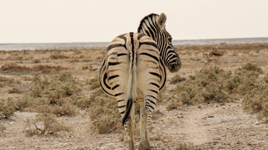 【DAY228・ナミビア】エトーシャ国立公園へ!!!肉食動物出てこい〜🦁