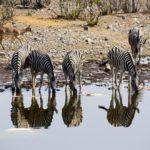 【DAY229・ナミビア】エトーシャ国立公園で1日中サファリ🐘その結果はいかに・・・