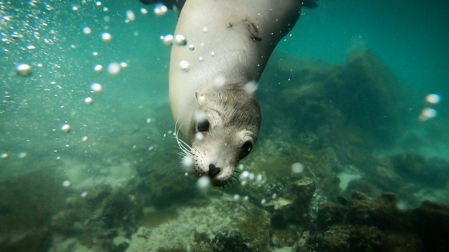 【DAY333・ガラパゴス諸島】イサベラ島でアシカと一緒に泳いだ日🐋