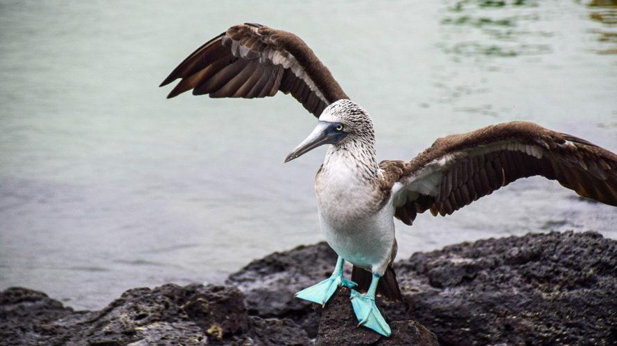 【DAY331・ガラパゴス諸島】トルトゥーガ ベイ(Tortuga Bay)でアオアシカツオドリに遭遇🦅