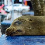 【DAY329・ガラパゴス諸島】アシカと共存する街「プエルトアヨラ」🐋生でマグロが食べれちゃいます🍣